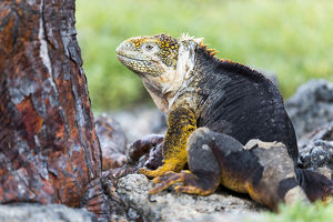 South America, Ecuador, Galapagos Islands, Plaza Sur, land iguana, (Conolophus