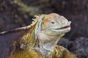 South America, Ecuador, Galapagos Islands, North Seymour Island, land iguana, (Conolophus