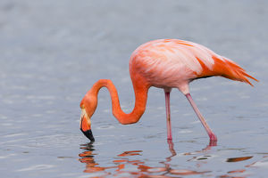 South America, Ecuador, Galapagos Islands, Floreana, Punta Cormoran, greater flamingo