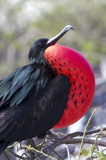 South America, Ecuador, Galapagos Islands, Genovesa, Darwin Bay Beach, great frigatebird