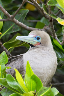 South America, Ecuador, Galapagos Islands, Genovesa, Darwin Bay Beach, red-footed booby