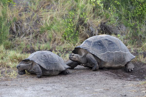 South America, Ecuador, Galapagos Islands, Isabela, Urvina Bay, Galapagos giant tortoise
