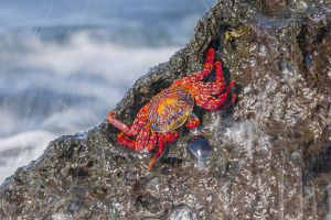 South America, Ecuador, Galapagos Islands, Isabela, Urvina Bay, Sally Lightfoot crab