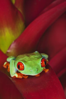 South America, Panama. Red-eyed tree frog on bromelied flower