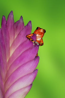 South America, Panama. Strawberry poison dart frog on bromeliad flower. Credit as
