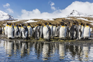 South Georgia Island, Salisbury Plains. Group of molting king penguins reflect in stream