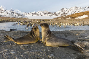 South Georgia Island, St. Andrew's Bay. Elephant seal pups in front of king penguins