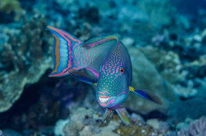 South Pacific, Solomon Islands. Close-up of parrotfish