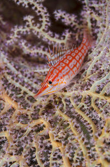 South Pacific, Solomon Islands. Close-up of longnose hawkfish