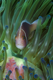 South Pacific, Solomon Islands. Close-up of pink anemonefish in tentacles. Credit as