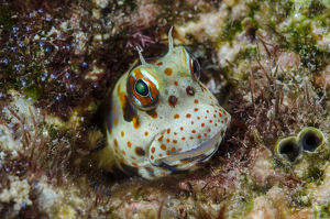 South Pacific, Solomon Islands. Redspotted blenny fish amid coral