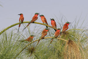 Southern Carmine Bee-eaters (merops nubicoides), perched on a tree above the Cubango River