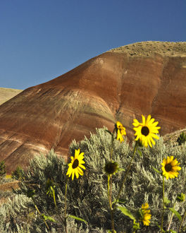 Sunflowers, Painted Hills; John Day Fossil Beds National Monument; Mitchell; Oregon; USA