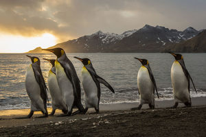 Sunrise with marching king penguins on the beach of St