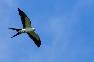 Swallow-tailed kite in flight, Elanoides forficatus, Central Florida, USA