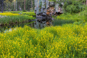 Sweet clover along French Creek in the Black Hills of Custer State Park, South Dakota