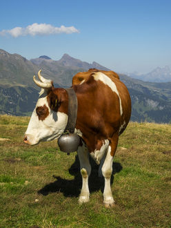 Switzerland, Bern Canton, Mannlichen area, Swiss cow in alpine setting