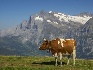 Switzerland, Bern Canton, Mannlichen area, Swiss cows in alpine setting; Wetterhorn