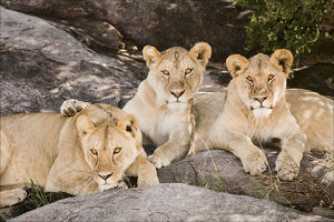 Tanzania, Africa. Three Lions sit in the shade of a rock outcropping