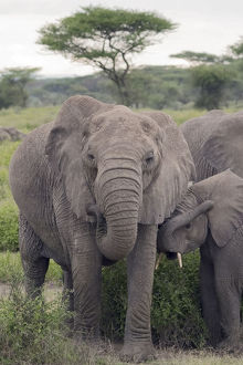 Tanzania, Africa. Mother African Elephant an young