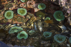 Tide Pool; Salish Sea; Washington State