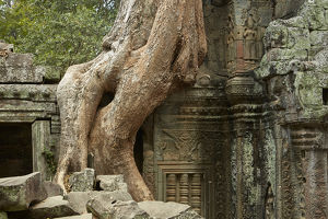 Tree roots growing over Ta Prohm temple ruins (12th century), Angkor World Heritage Site