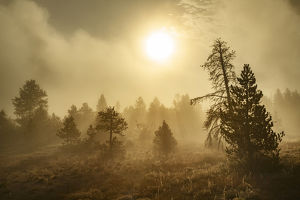 Tree silhouetted at sunrise, Upper Geyser Basin, Yellowstone National Park