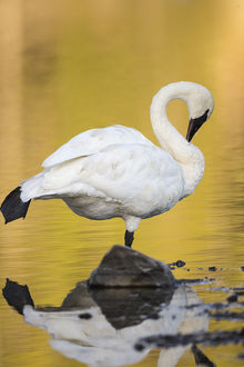 Trumpeter Swan preening, Cygnus buccinator, reintroduced to the Yellowstone basin
