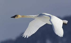 Trumpeter Swan; Winter Flight