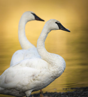 Trumpeter Swans, Cygnus buccinator, reintroduced to the Yellowstone basin, Yellowstone NP