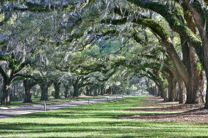 United States, North Carolina, Charleston, Trees Forming Canopy over Drive at Boone Hall