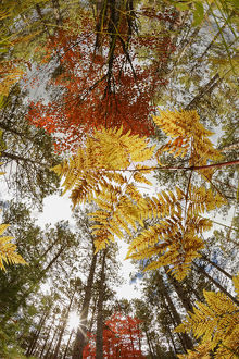 Upward view through ferns in pine forest, Upper Peninsula of Michigan