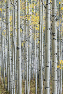 US, CO, Gunnison NF, Aspen Trunks with Autumn Color