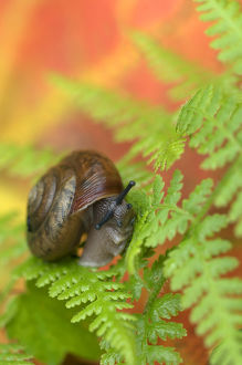 USA,Adirondacks,Snail on Fern in Fall. Credit as: Nancy Rotenberg / Jaynes Gallery