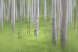 USA, Alaska. Abstract blur of birch trees
