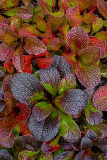 USA, Alaska. Alpine bearberry leaves close-up