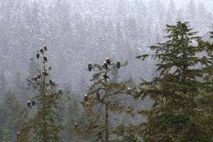 USA, Alaska. Bald eagles congregate in trees during