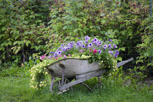 USA, Alaska, Chena Hot Springs. Old wheelbarrow with flowers
