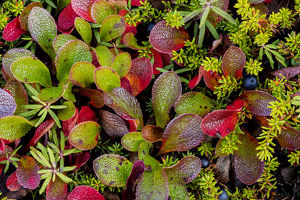 USA, Alaska. Close-up of alpine bearberry and crowberry plants
