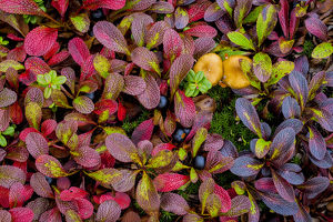 USA, Alaska, Dalton Highway. Alpine bearberry and crowberry