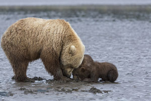 USA, Alaska. A female grizzly bear, ursus arctos horribilis, clams on the tidal flats