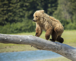 USA, Alaska, Grizzly Bear Cub