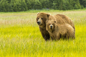 USA, Alaska, Grizzly Bear with Cub