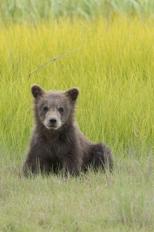 USA, Alaska. Grizzly bear cub, ursus arctos horribilis, sits in a meadow in Lake
