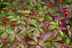 USA, Alaska, Hatchers Pass, Bunch Berry (Cornus Canadensis)