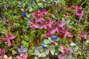 USA, Alaska, Hatchers Pass. Bunch berry and low-bush blueberry