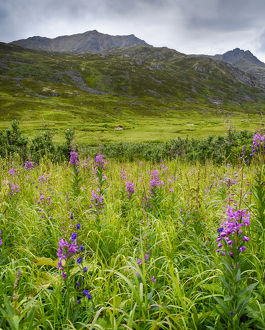 USA, Alaska, Hatchers Pass, fireweed in bloom