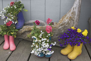 USA, Alaska, Homer. Colorful rubber boots used as flower pots