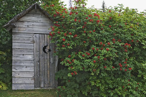 USA, Alaska, Homer. An outhouse built in 1929 is surrounded by blooming elderberrys