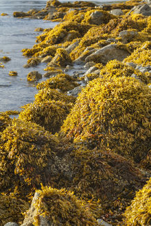 USA, Alaska. Kelp covers rocks along the shore at low tide